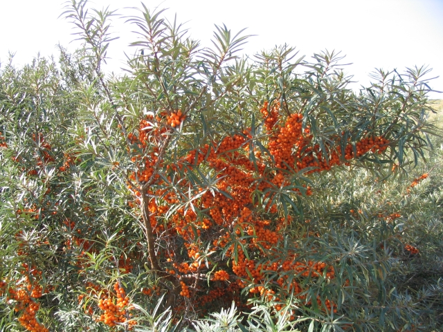 Sea buckthorn hippophae rhamnoides our ochre seeds - Growing sea buckthorn ...