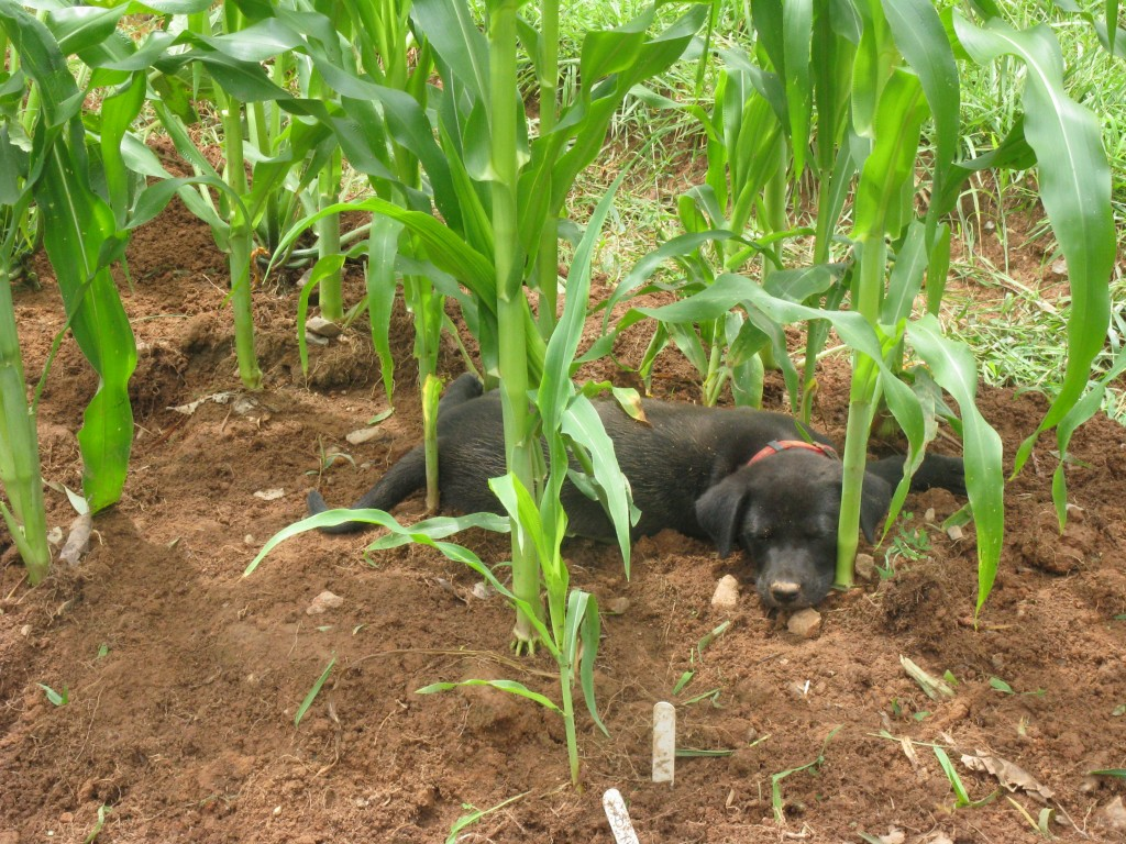 bolt's first day at home, sleeping under the corn