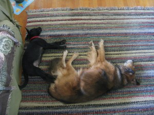 My two dogs, napping