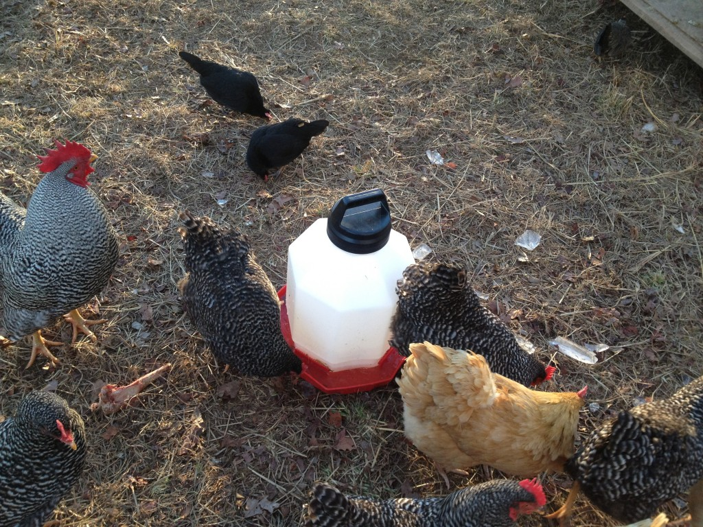 Chicken's drinking water!