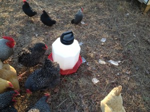 Frozen chicken waterer and cold chickens