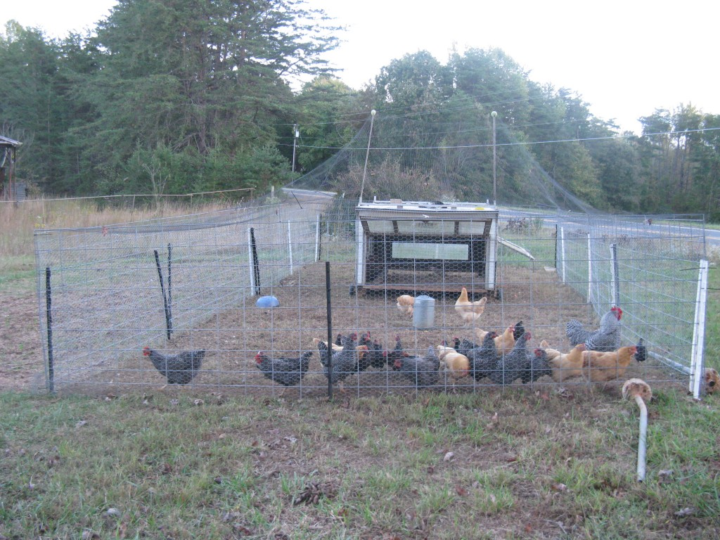 Chickens like to spend time with their flock, or group!