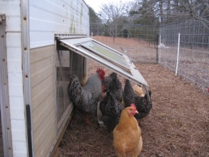 rex, our barred rock rooster, spending some time with his lady friends