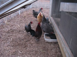 feeding time: our bantum rooster, roosty, with standard and bantum hens