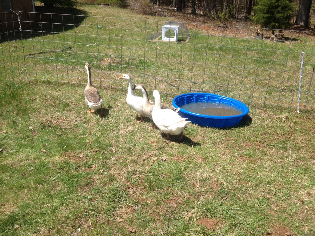 homesteading geese