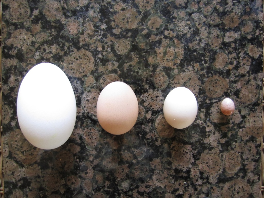 from left to right: goose egg, standard chicken egg, bantam chicken egg, wren egg.