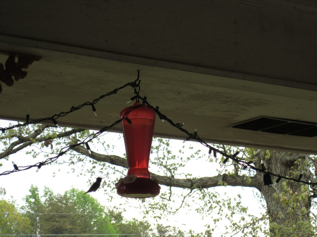 one of our hummingbird visitors, coming out for a meal!