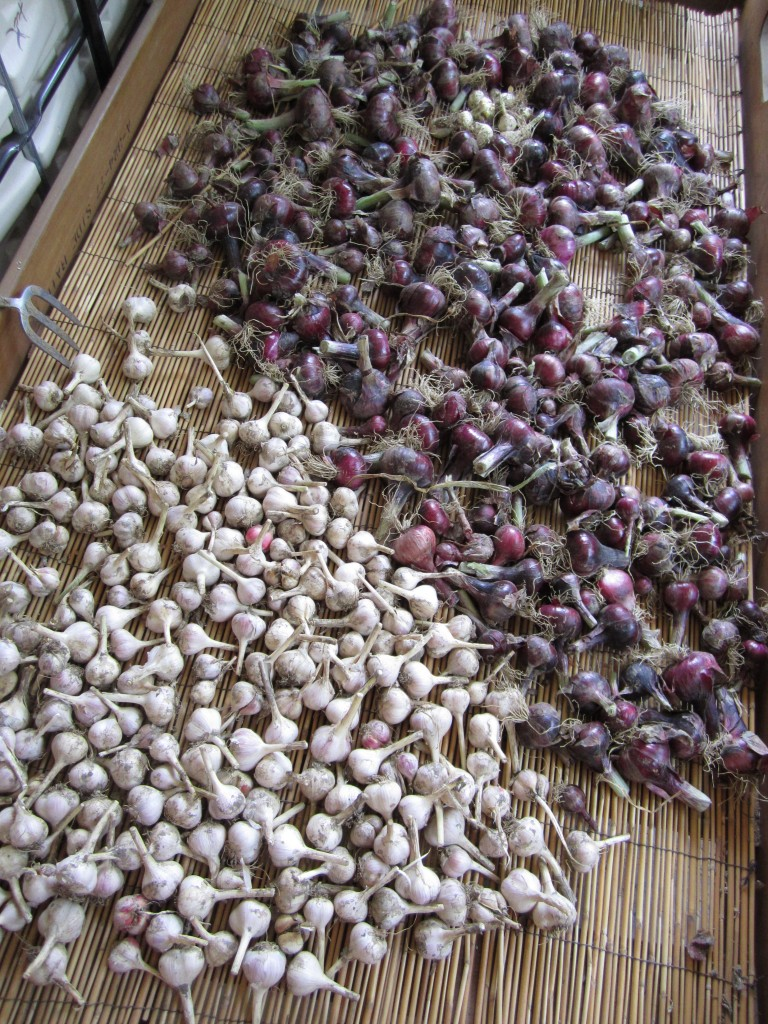my dad's red onion and garlic crop this year, drying before being stored.