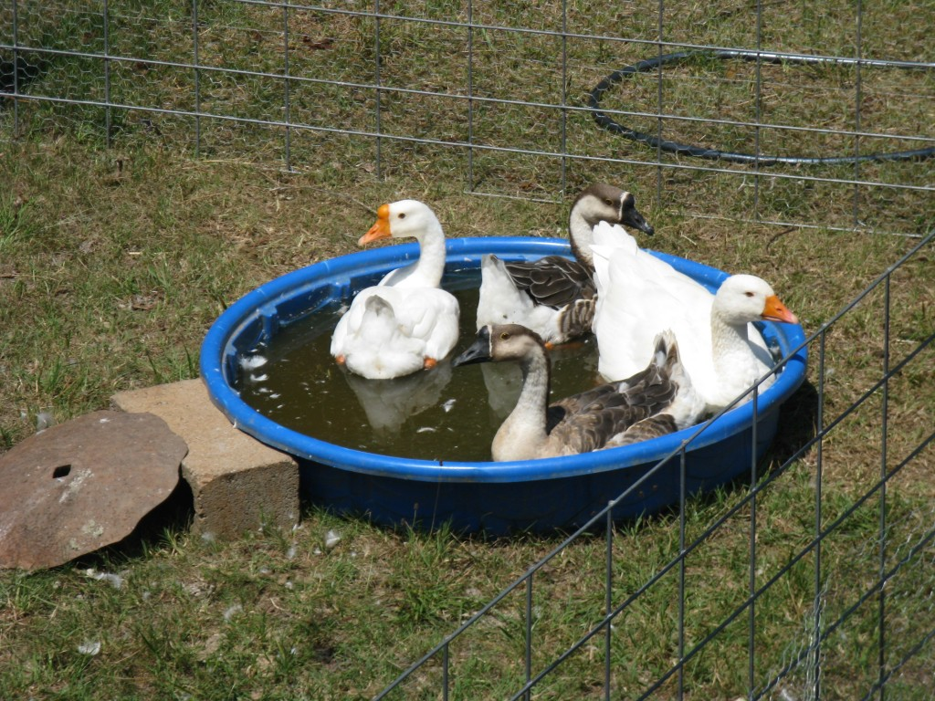 all four geese chilling in their kiddie pool together!
