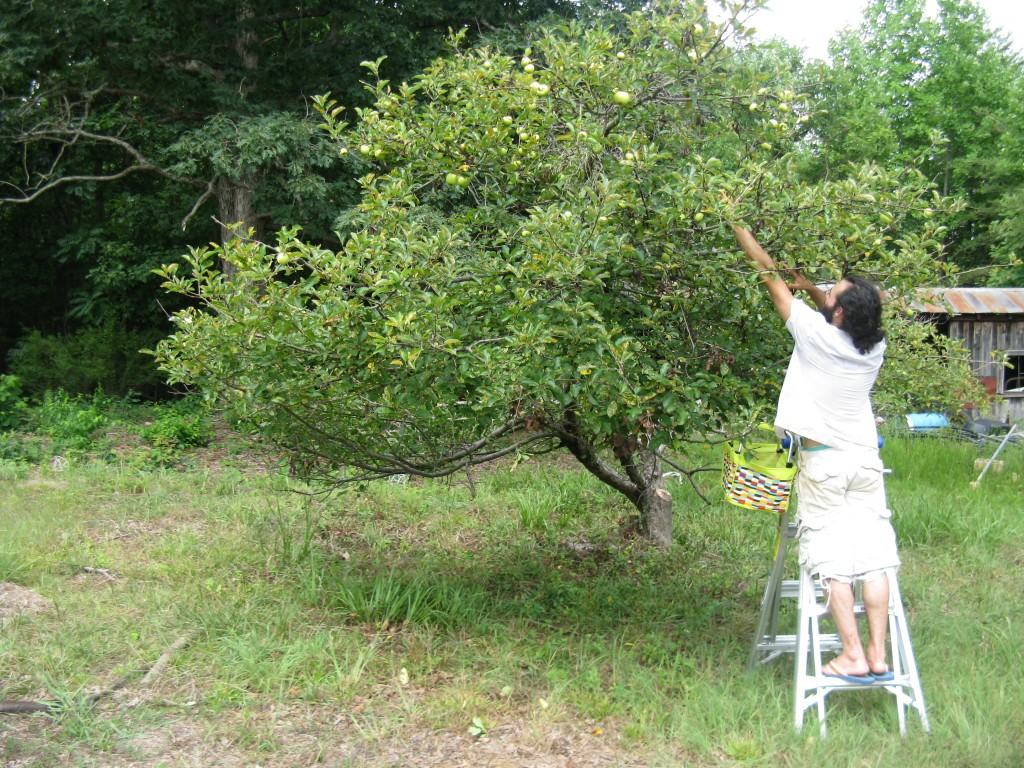 our (golden delicious?) apple tree