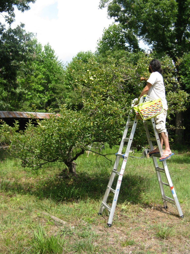 jason climbing the ladder to get to the apples at the top.