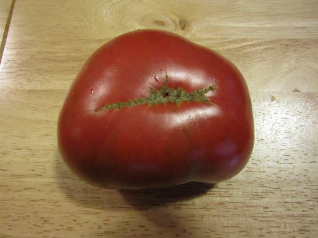 the ripened base of the cherokee purple, champion of tomatoes!