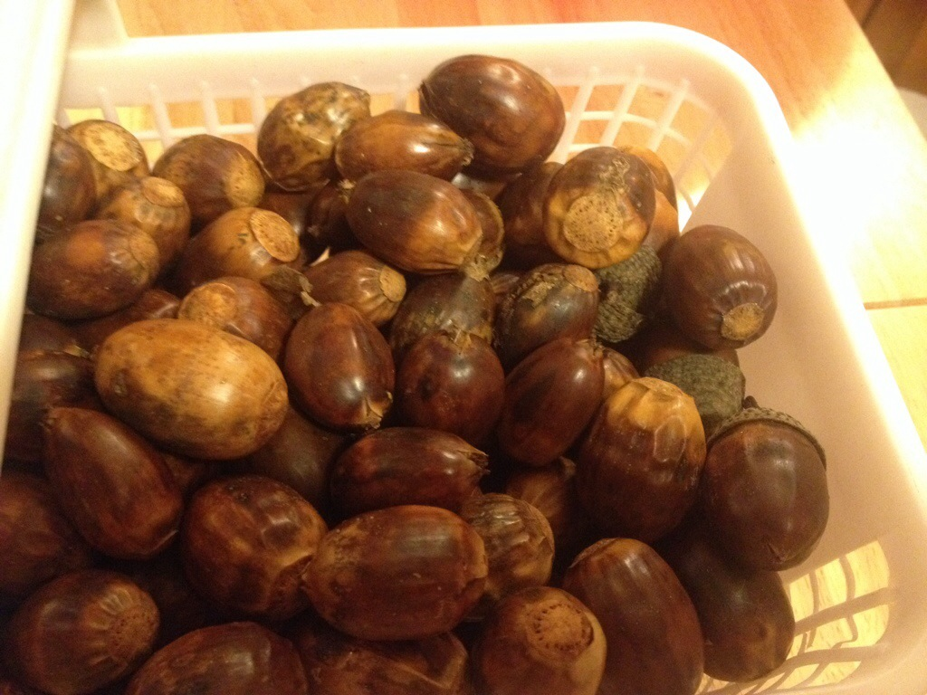 chestnut oak acorns edible