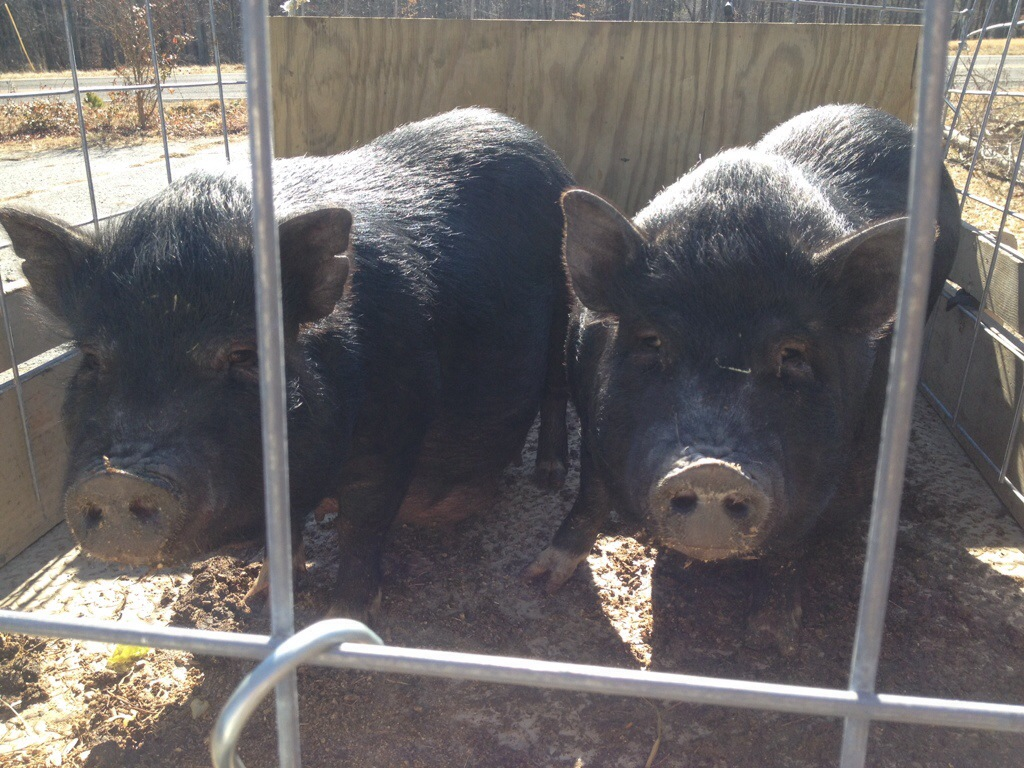 pot bellied pigs homestead