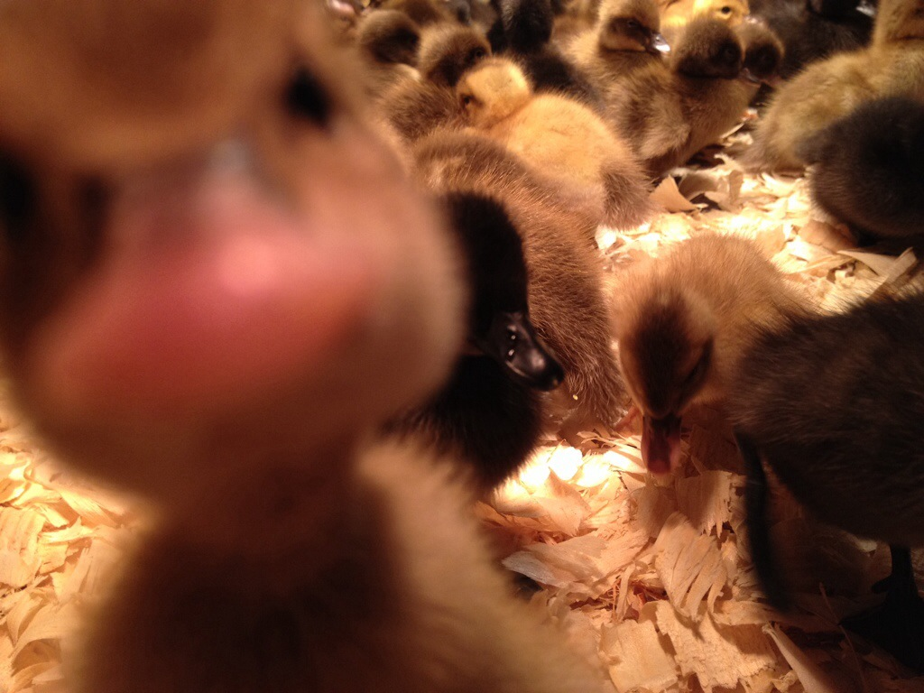 ducklings funny